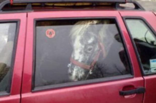 Fiat Uno z koniem w środku