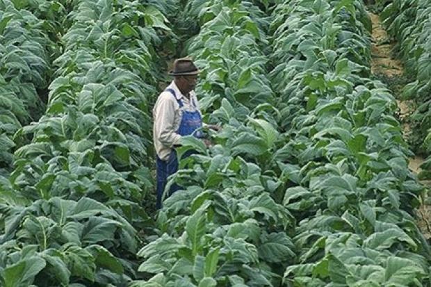 Przyszłość biopaliw - genetycznie modyfikowany tytoń