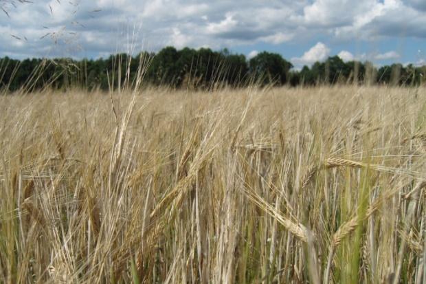 Dobre zboże też może być biomasą