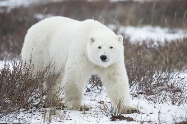 Jak niedźwiedzica z młodymi zablokowała platformę wydobywczą