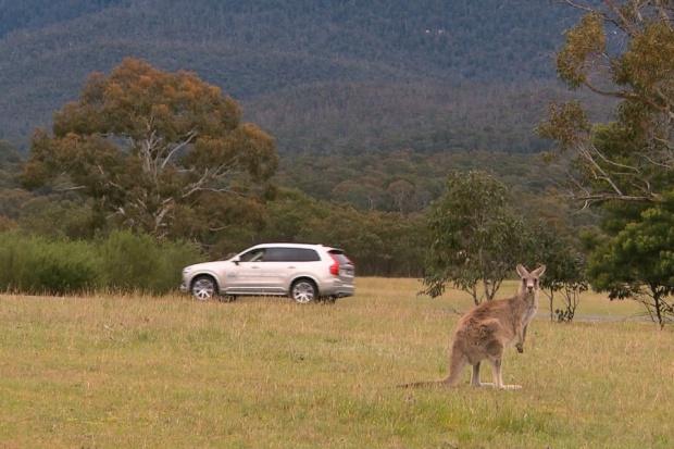 Volvo testuje system zapobiegający kolizjom z...  kangurami