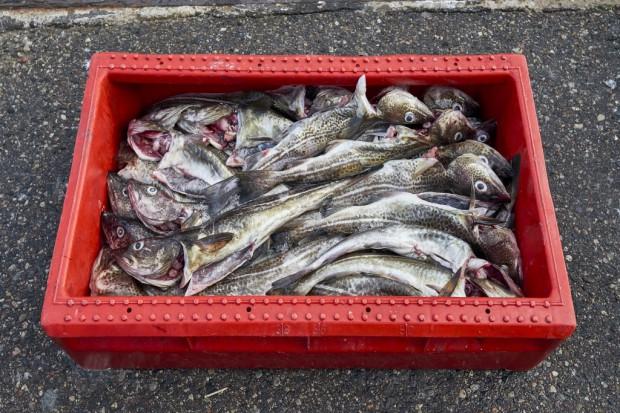 Nord Stream: mniejsza ilość ryb w Bałtyku to nie wina gazociągu