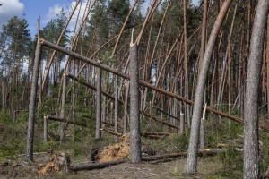 Lasy Państwowe: to największa klęska w dziejach polskiego leśnictwa