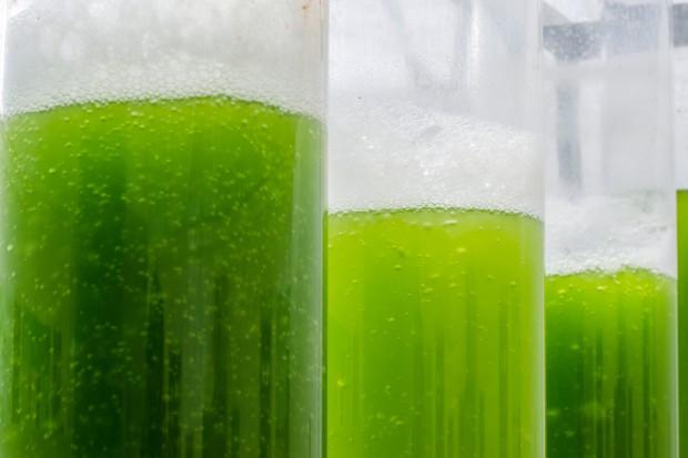 Glony to źródło paliwa przyszłości?