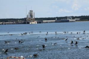 Basen gazoportu stał się oazą dla ptactwa wodnego. Na zdjęciu kormorany.