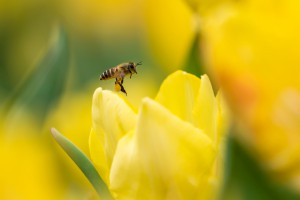 Walmart ma robotyczne pszczoły, czyli drony zapylające