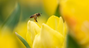 Handlowy gigant skonstruował robotyczne pszczoły