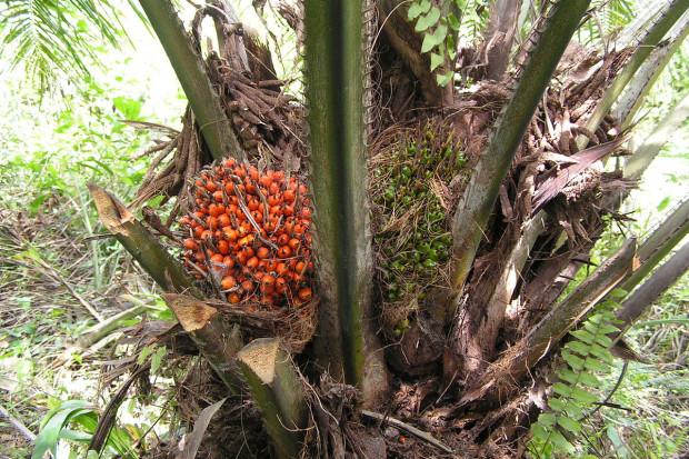 Indonezja ograniczy plantacje palmy olejowej. To dotknie wiele branż