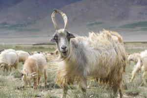 LPP spiera się z obrońcami zwierząt. Poszło o kozy kaszmirskie